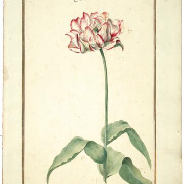 Karlsruher Tulpenbuch, um 1730.jpg